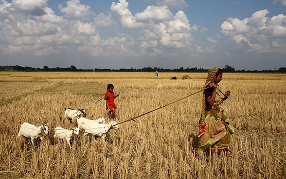 A woman and a child walk across a field in Bangladesh with some goats in tow.