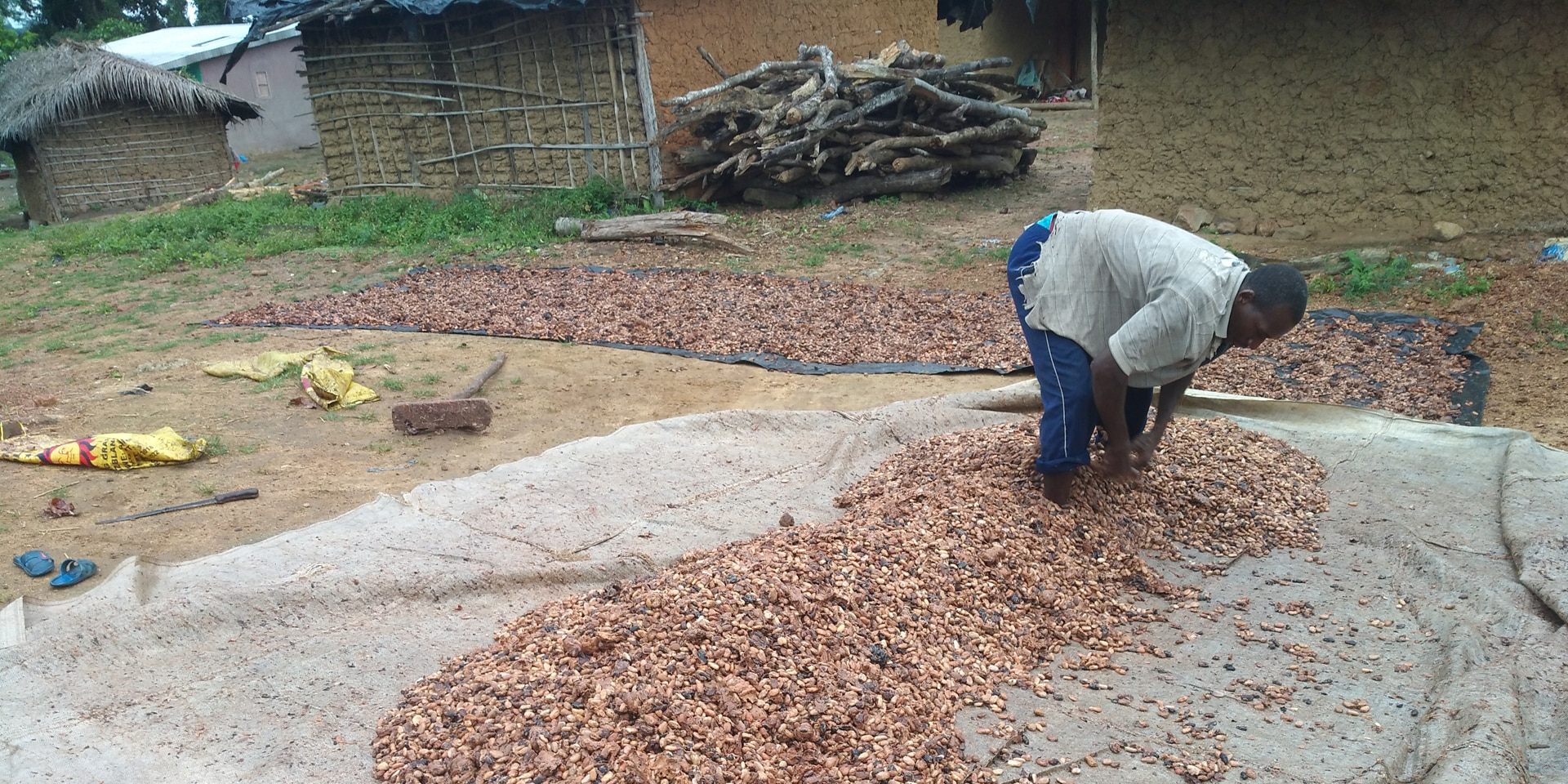 A cocoa farmer spreads cocoa beans on a plastic sheet to dry.